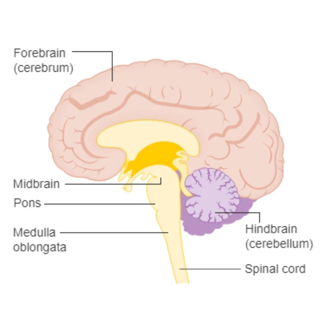 Astronaut Abby_The Science Behind Sleep and Dreams_Parts of Brain_Image